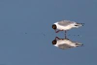 Black-headed Gull (Larus ridibundus) cleaning iteelf, Texel,