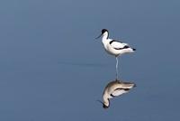 Pied Avocet (Recurvirostra avosetta), Texel, Netherlands