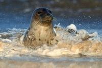 Grey Seal (Halichoerus grypus), Donna Nook, Lincolnshire, Un