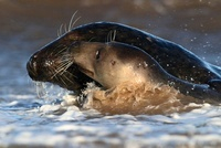 Grey Seal (Halichoerus grypus) male and female playing in su