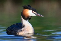 Great Crested Grebe (Podiceps cristatus) swimming, Vlaarding