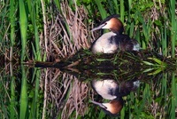 Great Crested Grebe (Podiceps cristatus) on nest, Vlaardinge