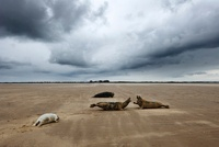 Grey Seal (Halichoerus grypus) group on the beach, Donna Noo