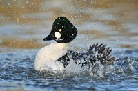 Common Goldeneye (Bucephala clangula) male bathing, Frieslan