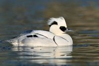 Smew (Mergellus albellus) male on the water, Friesland, Neth