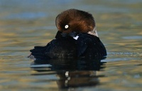 Common Goldeneye (Bucephala clangula) female on the water, F