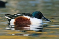 Northern Shoveler (Anas clypeata) male on the water, Friesla