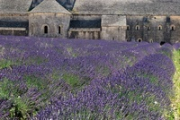 Lavender field with church in the background, Provence, Fran
