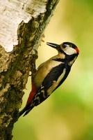 Great Spotted Woodpecker (Dendrocopos major) male, Noord-Bra