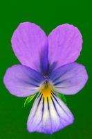 Heartsease (Viola tricolor) flower, Noord-Brabant, Netherlan