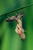 Scarce Chaser (Libellula fulva) dragonfly emerging, Noord-Br