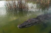 Morelet's Crocodile (Crocodylus moreletii), Yucatan, Mexico