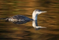 Red-throated Loon (Gavia stellata) swimming, Leusden, Utrech