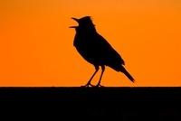 Rufous-naped Lark (Mirafra africana) singing on a signpost,