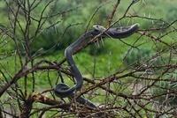 Black Mamba (Dendroaspis polyleps) in tree, Central Kalahari