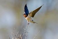 Barn Swallow (Hirundo rustica) balancing on twig with wings