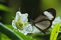 Nymphalid Butterfly (Ithomia sp) feeding on flower, Mindo, E 01543036763| 写真素材・ストックフォト・画像・イラスト素材|アマナイメージズ