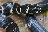 Halloween Snake (Pliocercus euryzonus) a non-venomous coral  01543036776| 写真素材・ストックフォト・画像・イラスト素材|アマナイメージズ