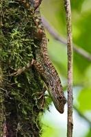 Equatorial Anole (Anolis aequatorialis) large male perched o 01543036777| 写真素材・ストックフォト・画像・イラスト素材|アマナイメージズ