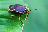 Stink Bug (Pentatomidae), Mindo, Ecuador