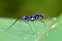 Stilt-legged Fly (Micropezidae) signalling with leg, Mindo,  01543036784| 写真素材・ストックフォト・画像・イラスト素材|アマナイメージズ