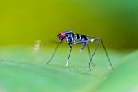 Stilt-legged Fly (Micropezidae) signalling with leg, Mindo,  01543036785| 写真素材・ストックフォト・画像・イラスト素材|アマナイメージズ