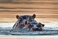 Hippopotamus (Hippopotamus amphibius) pair surfacing, Mokolo
