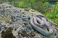 Western Yellow-bellied Racer (Coluber constrictor mormon) ne