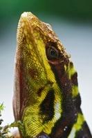 Giant Anole (Dactyloa microtus) male, Boquete, Panama 01543036889| 写真素材・ストックフォト・画像・イラスト素材|アマナイメージズ