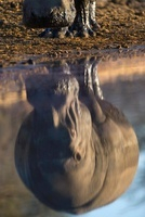 Hippopotamus (Hippopotamus amphibius) reflection, Makgadikga