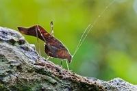 Katydid (Tettigoniidae), central Panama 01543036956| 写真素材・ストックフォト・画像・イラスト素材|アマナイメージズ