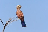 Rufous-crowned Roller (Coracias naevia) perched on bush, Kha