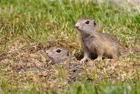 European Ground Squirrel (Spermophilus citellus) young at bu