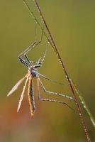 Crane Fly (Tipula sp), Epe, Gelderland, Netherlands