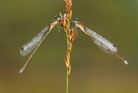 Small Spreadwing (Lestes virens) pair, Epe, Gelderland, Neth 01543037147| 写真素材・ストックフォト・画像・イラスト素材|アマナイメージズ
