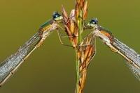 Small Spreadwing (Lestes virens), Epe, Gelderland, Netherlan 01543037148| 写真素材・ストックフォト・画像・イラスト素材|アマナイメージズ