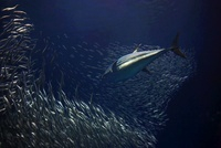 Pacific Bluefin Tuna (Thunnus orientalis) hunting Pacific Sa
