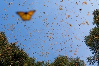 Monarch (Danaus plexippus) butterfly group flying, during a