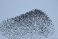 Common Starling (Sturnus vulgaris) flock flying in formation