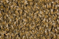 Honey Bee (Apis mellifera) mass sitting on honeycomb, German