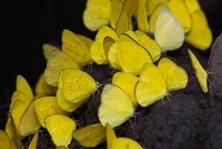 Pierid Butterfly (Eurema sp) group feeding on soil minerals,