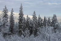 Snow-covered trees, Black Forest, Germany