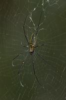 Big-jawed Spider (Nephila sp) female on web, Christmas Islan 01543037367| 写真素材・ストックフォト・画像・イラスト素材|アマナイメージズ
