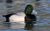 Greater Scaup (Aythya marila) male on the water, Friesland,