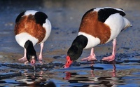 Common Shelduck (Tadorna tadorna) pair standing on the ice a