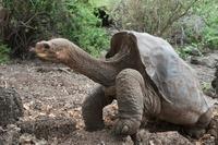 Pinta Island Galapagos Tortoise