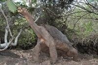Pinta Island Galapagos Tortoise 01543040751| 写真素材・ストックフォト・画像・イラスト素材|アマナイメージズ