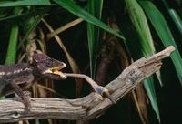 Crested Chameleon (Chamaeleo cristatus) catching insect, Mad
