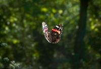 Red Admiral (Vanessa atalanta) butterfly flying, Sussex, Eng 01543040865| 写真素材・ストックフォト・画像・イラスト素材|アマナイメージズ