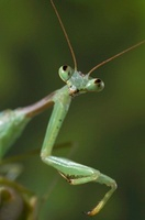 Praying Mantis (Miomantis abyssinica)